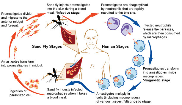all of human life cycle stages   free collection of pictures of        human life cycle diagram on all of human life cycle stages