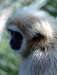 gibbon, nose, animal, monkey, mammal, fauna, close-up, old world monkey, wildlife,