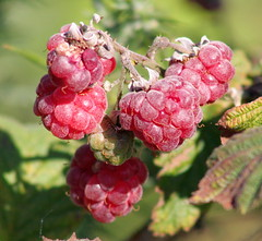shrub(0.0), flower(0.0), crataegus pinnatifida(0.0), schisandra(0.0), zante currant(0.0), blackberry(1.0), tayberry(1.0), berry(1.0), plant(1.0), wine raspberry(1.0), produce(1.0), loganberry(1.0), fruit(1.0), food(1.0), raspberry(1.0), boysenberry(1.0), dewberry(1.0),