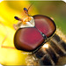 Hoverfly eyes