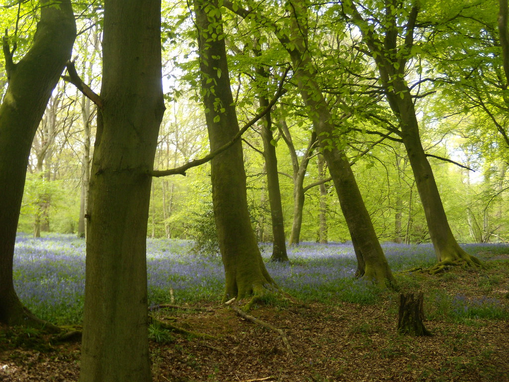 A wood - bluebells Goring Circular (via Moulsford