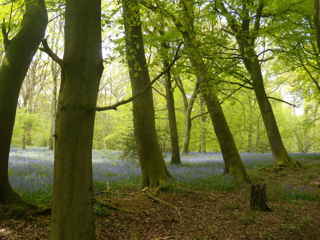 A wood - bluebells Goring Circular (via Moulsford