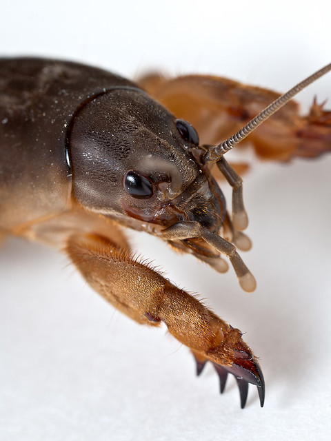 Mole cricket portrait