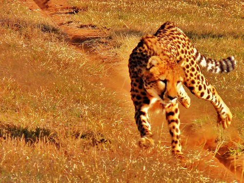 Cheetah Run 2