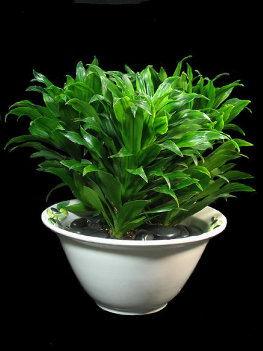 Inside Urban Green Low Light Low Maintenance Dracaena Bowl
