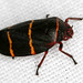 Two-lined Spittlebug - Photo (c) Patrick Coin, some rights reserved (CC BY-NC-SA)