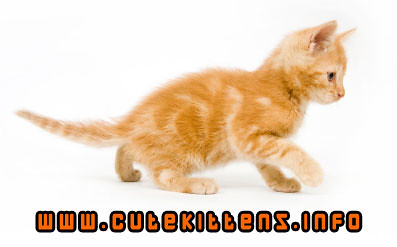 1383151405 92bdf7370d Orange Tabby Kittens