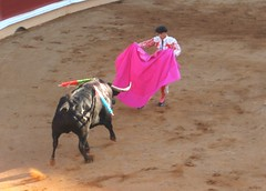 animal sports, cattle-like mammal, bull, event, tradition, sports, bullring, performing arts, entertainment, matador, performance, bullfighting,