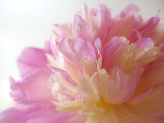 Pink peony roses from my garden that smell heavenly! | Emma Lamb