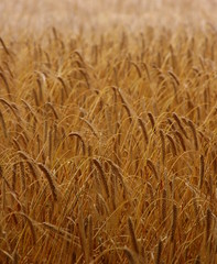 emmer, hordeum, agriculture, triticale, einkorn wheat, field, barley, wheat, crop, cereal, plant stem,