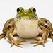 Arugula the Frog