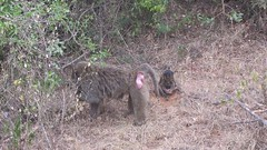 Baboon with little one