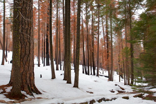 california snow forest woods yosemite sequoia inthewoods topazfilters landscapewithoutanypeople