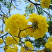 Tabebuia guayacan - Photo (c) Luis Pérez, some rights reserved (CC BY)