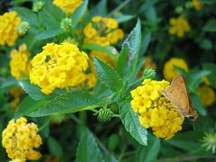 tropical milkweed(0.0), shrub(0.0), nectar(0.0), wildflower(0.0), common tansy(0.0), annual plant(1.0), flower(1.0), yellow(1.0), plant(1.0), subshrub(1.0), herb(1.0), flora(1.0), lantana camara(1.0),