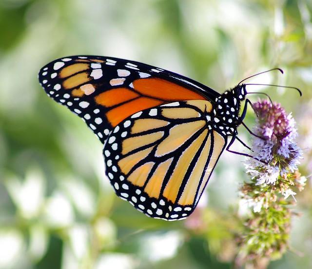 Z Gallerie Butterfly Amazing Butterflies - ...