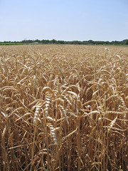 prairie, agriculture, triticale, rye, food grain, field, barley, wheat, plain, plant, produce, crop, cereal,
