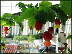 Abutilon megapotamicum (Flowering Maple, Trailing Abutilon, Brazillian Bell-flower, Chinese Lantern), Jan 18 2007