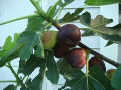 branch, leaf, tree, common fig, flora, green, fruit,