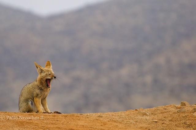 Zorro chilla - Grey fox (Pseudalopex griseus)