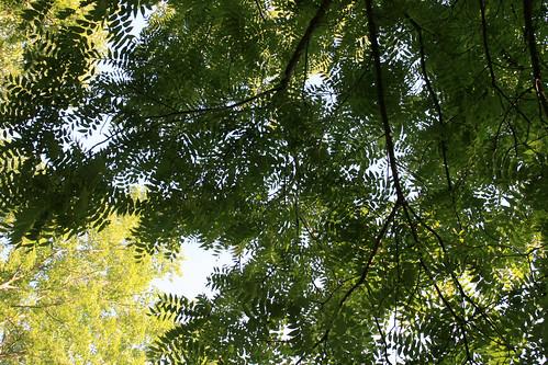 Walnut treetops
