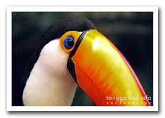 Tucán toco / Toco toucan