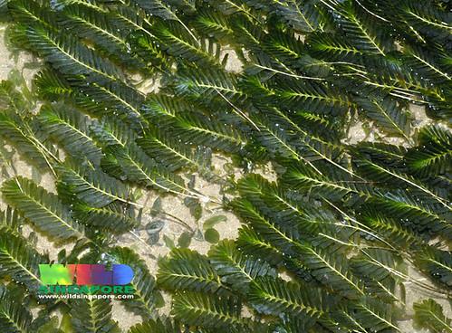 Fern seagrass (Halophila spinulosa)