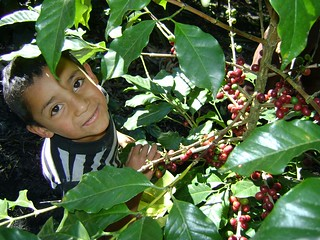 Roelito harvesting coffee