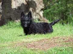 pumi(0.0), australian terrier(0.0), scottish terrier(0.0), dog breed(1.0), animal(1.0), dog(1.0), grass(1.0), pet(1.0), vulnerable native breeds(1.0), cairn terrier(1.0), west highland white terrier(1.0), mudi(1.0), carnivoran(1.0), terrier(1.0),