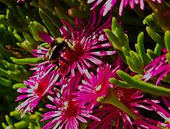blossom(0.0), shrub(0.0), bee balm(0.0), scarlet beebalm(0.0), wildflower(0.0), flower(1.0), plant(1.0), macro photography(1.0), flora(1.0), close-up(1.0), ice plant(1.0), petal(1.0),