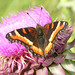 Milbert's Tortoiseshell - Photo (c) Jerry Oldenettel, some rights reserved (CC BY-NC-SA)