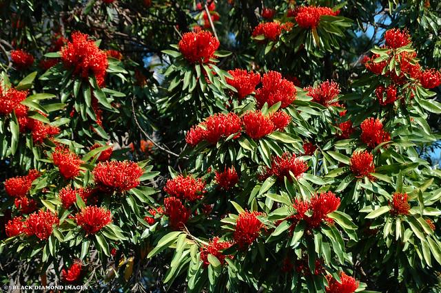Alloxylon flammeum -Tree Waratah