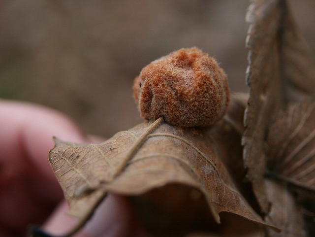 What Is This?  Woolly Oak Leaf Gall