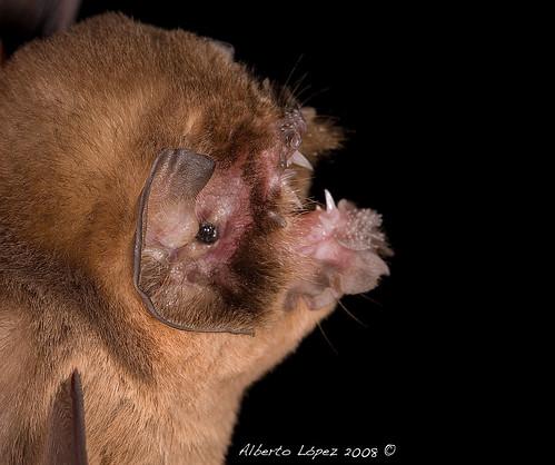 Ghost Faced Bat