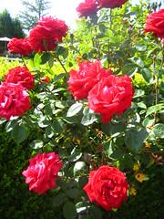 annual plant(1.0), shrub(1.0), garden roses(1.0), rosa 㗠centifolia(1.0), floribunda(1.0), flower(1.0), plant(1.0), rosa chinensis(1.0), petal(1.0),