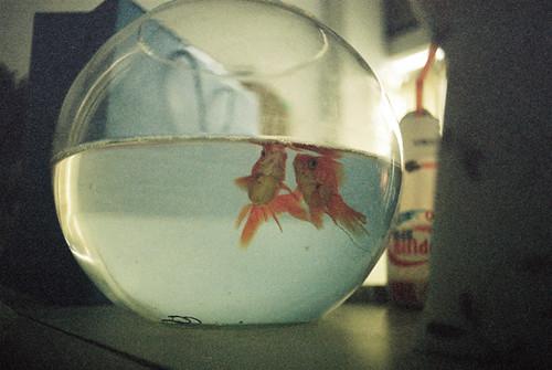 gold fish 金魚