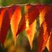 staghorn sumac detail by j_piepkorn65