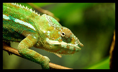 animal, green lizard, reptile, organism, lizard, fauna, african chameleon, close-up, american chameleon, dactyloidae, iguana, scaled reptile, wildlife,