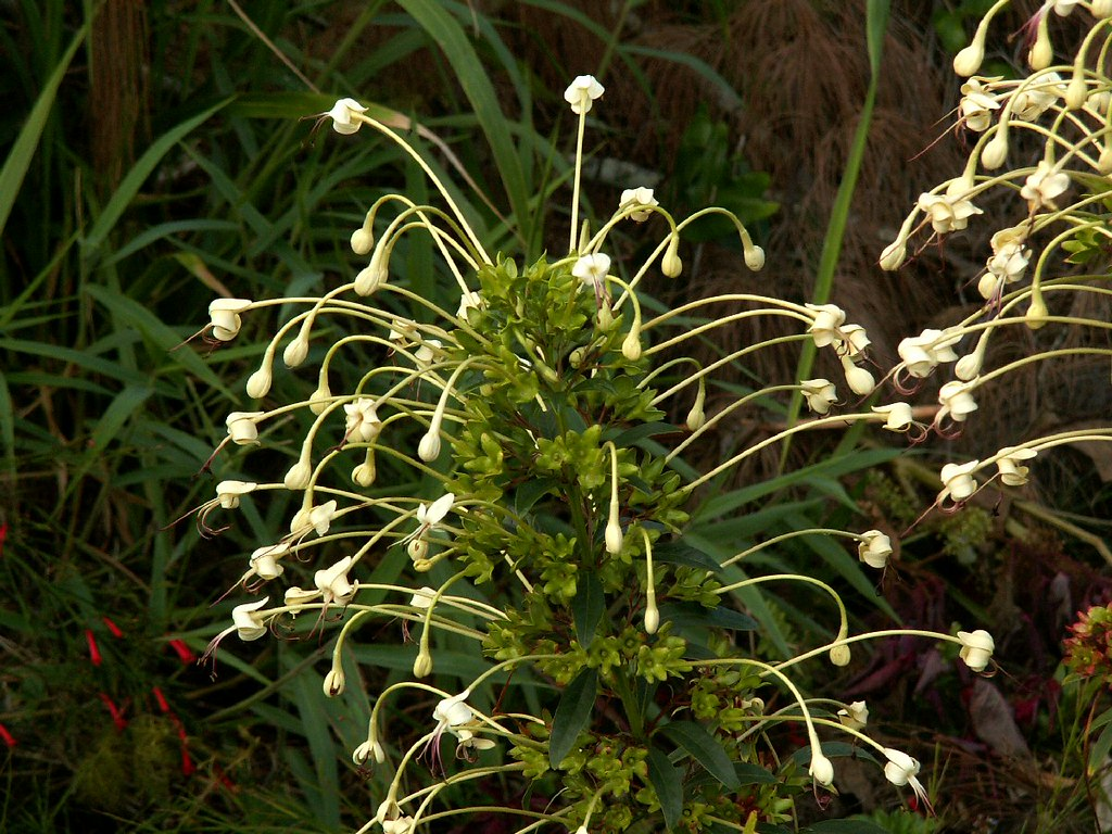 Native hawaiian flowers long stem white flower izmirmasajfo