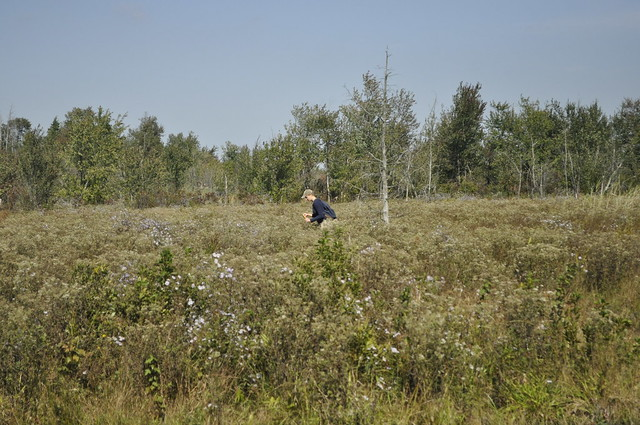 Claire Hansen, graphic designer, collecting Lachnanthes caroliniana (redroot). Photo by Anjali Satyu.
