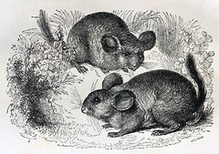 animal, rodent, mouse, drawing, illustration, chinchilla,