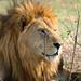 lion by oliver.dodd