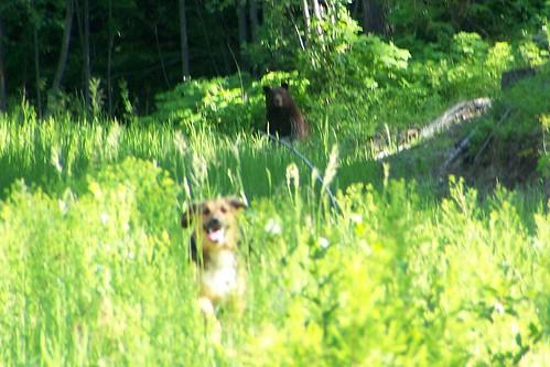 bear running away from a bear
