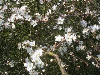 Blackthorn in bloom