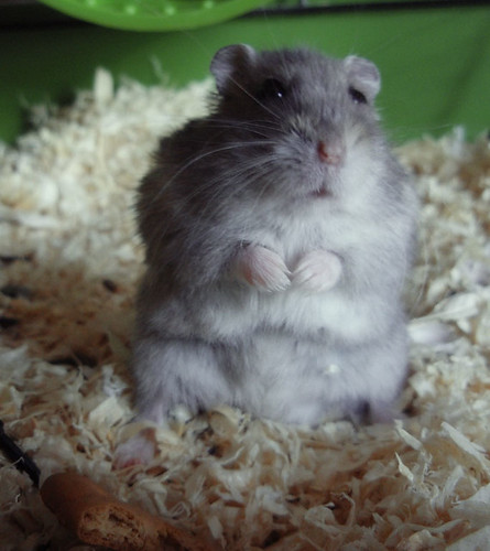 Hamster by https://www.flickr.com/photos/8901334@N03/
