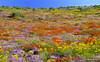 Namaqualand wild flowers by Martin_Heigan
