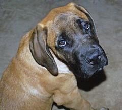 animal sports(0.0), hound(0.0), redbone coonhound(0.0), tosa(0.0), sports(0.0), cimarrã³n uruguayo(0.0), fila brasileiro(0.0), rhodesian ridgeback(0.0), dog sports(1.0), great dane(1.0), dog breed(1.0), animal(1.0), broholmer(1.0), dog(1.0), bavarian mountain hound(1.0), guard dog(1.0), carnivoran(1.0),