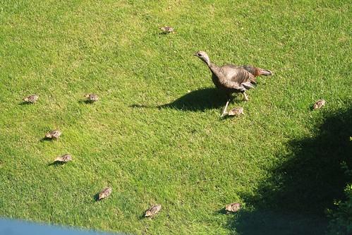 Wild Turkey & Chicks In Our Yard