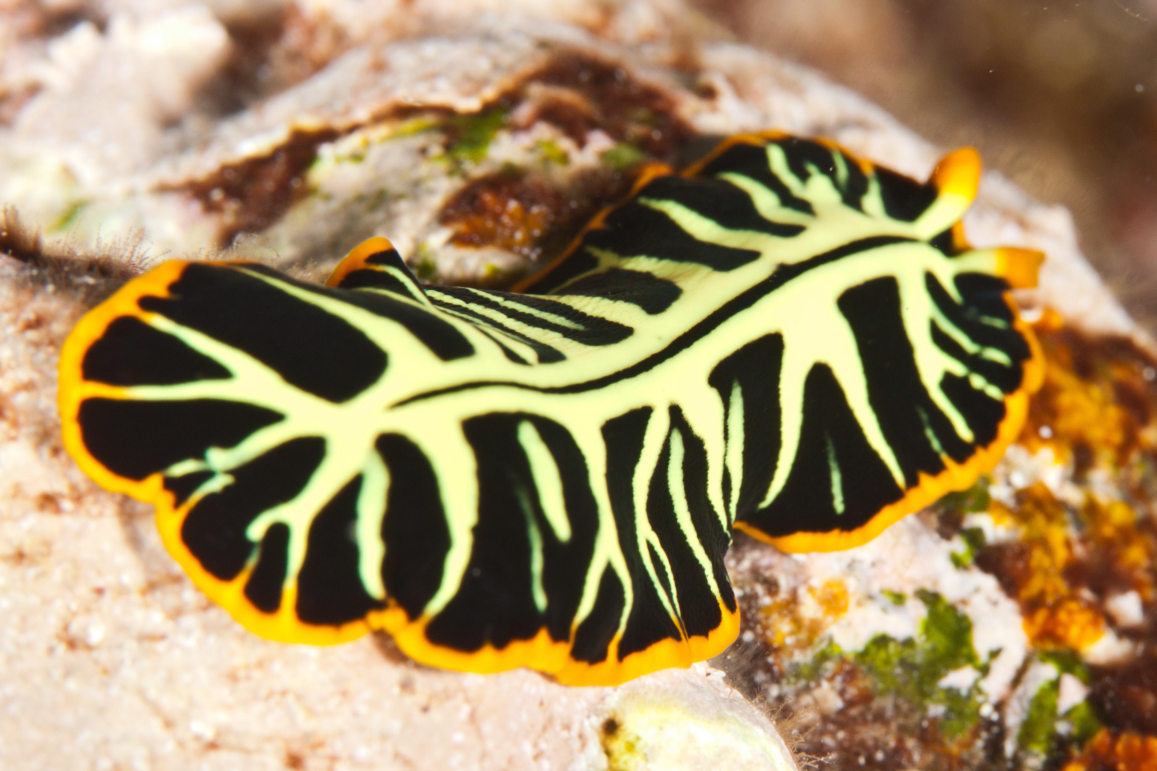 platyhelminthes un singur amfibian