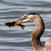 Great Blue Heron (with catfish)
